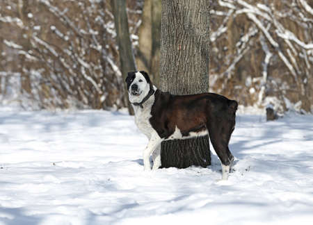 Black and white Central Asian Shepherd Dog in a winter forest