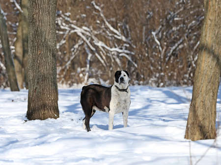 The Central Asian Shepherd Dog female on the snow Stock Photo