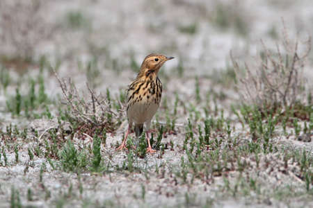 The red-throated pipit (Anthus cervinus) sits on the ground and looks at the camera Stock Photo