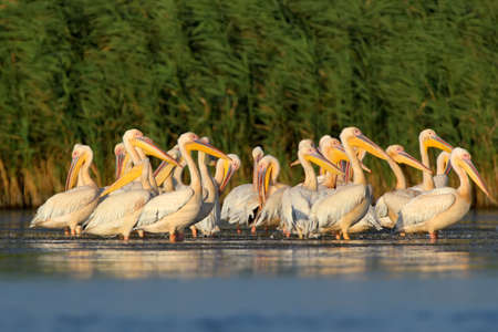 Large flock of a white pelicans rests on the water  in soft morning light