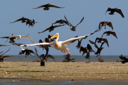 The pink pelican takes off from the water from the pack of common cormorants