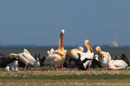 White pelicans, cormorants and seagulls rest on a sandbank in a bright sunny day