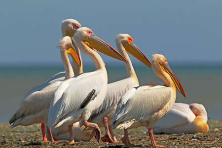 White pelicans rest on a sandbank in a bright sunny day