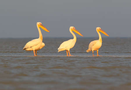 A group of a white pelicans rest on the morning sunlight in Danube delta Stock Photo