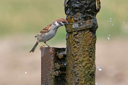 The house sparrow flew by the watering place to a large water tap on the farm Stock Photo