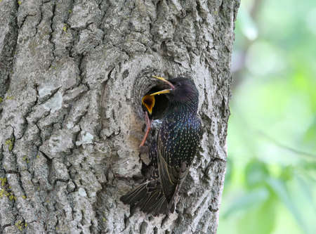 An adult starling feeds its chick in a hollow tree