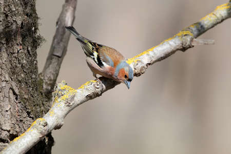 The male finch sits on an inclined branch and looks at the trough