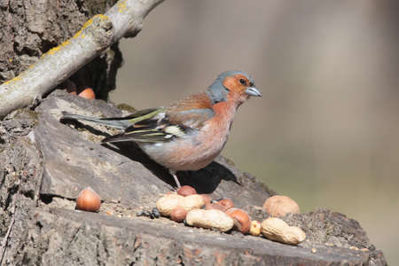 The male finch sits on a forest feeder and looks at the food Stock Photo