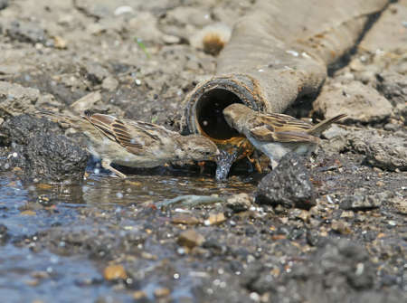 Two females of thes  house sparrow drink water from a large pipe