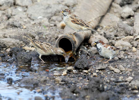 Three  house sparrow drink water from a large pipe Stock Photo