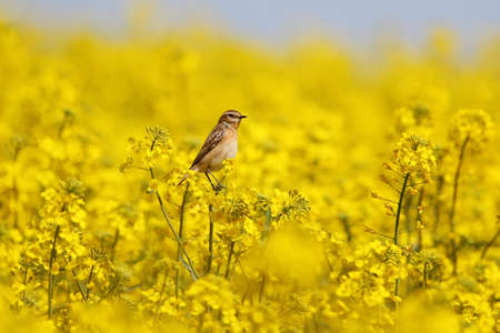The whinchat (Saxicola rubetra) sits on a branch of rapeseed on a blurred background of a rapeseed field
