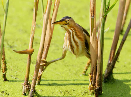 A female little bittern neatly sneaks up to the prey from the reed