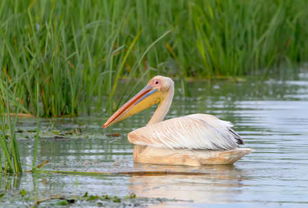 Close up and detailed photo a white pelicans floats in a water in natural habitat