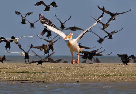 The white pelican flies up against the background of the flying cormorant flock Stock Photo
