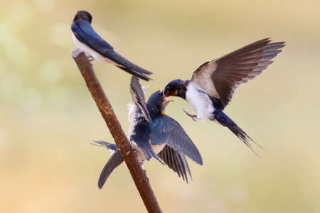 Barn swallow feeding their chicks scenes. Isolated on blurry background