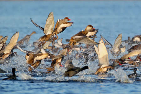 Large flock of red-crested pochard (Netta rufina) take off from the water