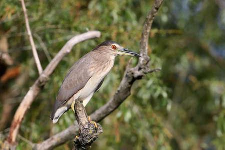 Young night heron portrait Фото со стока