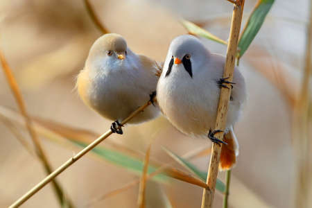 A pair of bearded tit rest on the reed together 免版税图像