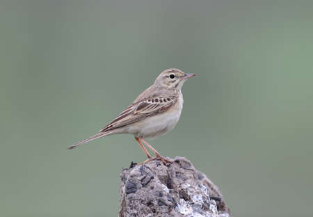 Close up and detailed photo of a tawny pipit (Anthus campestris) sits on a rock on green blurred background