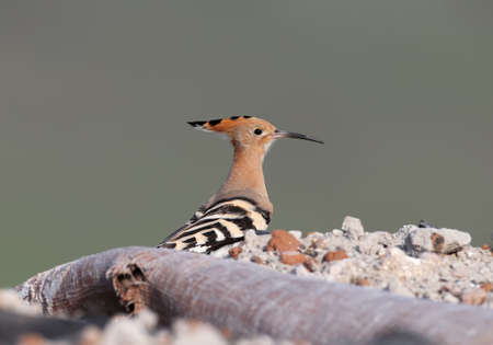 One hoopoe is sitting on a pile of construction debris, where the birds decided to arrange a nest