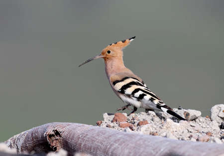 One hoopoe is sitting on a pile of construction debris, where the birds decided to make a nest Reklamní fotografie