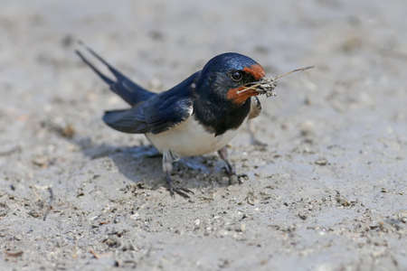 Barn Swallow collects on the river bank building material for a future nest. Close up and detailed photo
