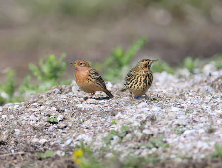 A  red-throated pipit (Anthus cervinus) female and male together sits on the ground among the grass and looks at the camera. Close upand detailed photo