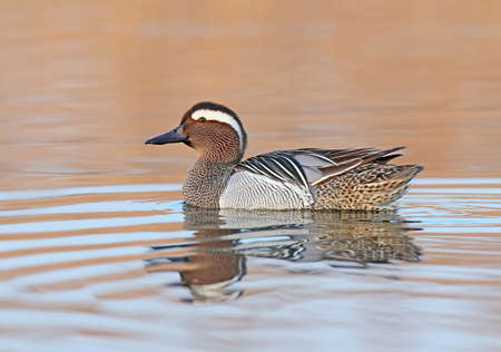 Adult male garganey floats in the water and looks at the camera in the time before sunrise