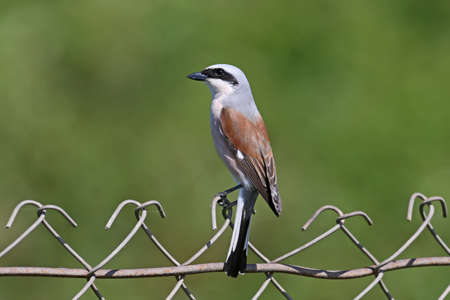 Amale of red backed shrike  sits on a metal fence on a blurred green background.