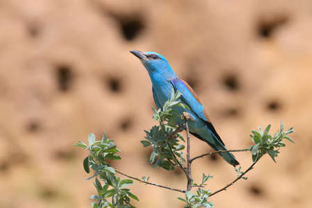 One European roller sits on a tree against nice beige blurred background