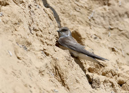 Sand martin sits next to the nest with grass next to him Stock Photo