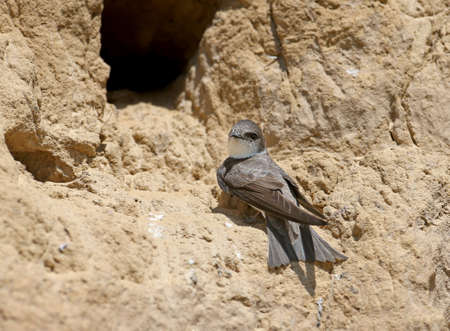 Sand martin sits next to the nest Waiting for the future partner