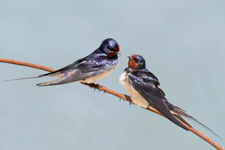 Two Barn swallow on the blurred grey background. 스톡 콘텐츠