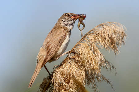 Rare picture. Great reed warbler catch and eats a little frog.
