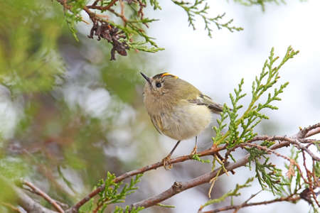 Close up photo of a Goldcrest ( Regulus regulus) sits on a branch against sky. Detailed and colorfull picture Stock Photo