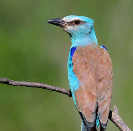 Close up photo european roller sits on a branch on blurred green back ground
