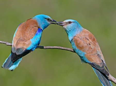 Ritual feeding by a male European roller of a female during the mating season. Both birds sit on a branch on a blurred green background Stock Photo