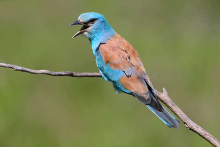 Very close up and unusual portrait of an european roller sits on a branch on a green blurred background