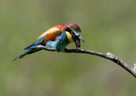The European bee-eater spews up the remnants of undigested food (redemption)
