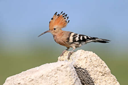 Extra close up and detailed photo of a hoopoe female sits on a stone on blurred background.