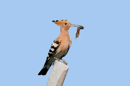 Extra close up and detailed photo of a hoopoe female with an European mole cricket in its beak sits on a stone on blurred background.
