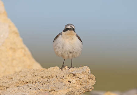 A northern wheatear (Oenanthe oenanthe) male in breeding plumage stands on a stone on blue sky bakground