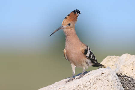 Very close up and detailed photo of a hoopoe  with open crest sits on a stone on blurred background.