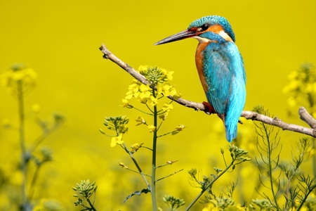 Unusual and exotic collage of kingfisher among the flowering rape