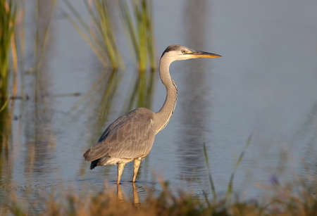 Close-up photo of a gray heron standing in the water of a lake in the rays of the rising sun