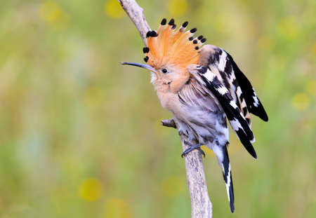 One Hoopoe with open crown sits on a branch on a beautifully blurred background Stock Photo