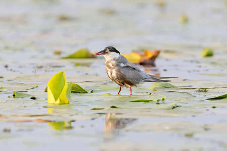 Whiskered tern stands on a leaf of an aquatic plant with a tail of fish protruding from its beak.