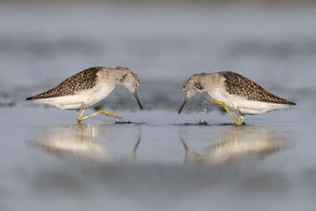 Two wood sandpiper (Tringa glareola) stand in water with raised paws.Unusual and fun photo