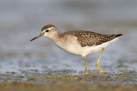 A wood sandpiper feeds in the blue water close up photo