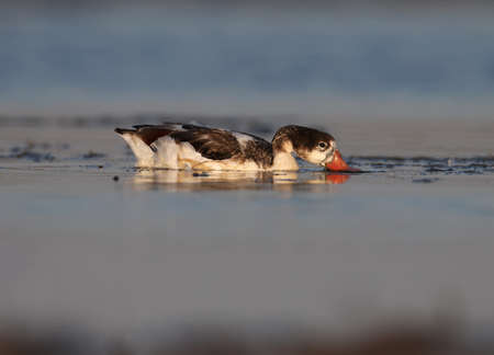 One young shelduck feeds on shallow water in the rays of the rising sun